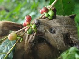 kopi luwak eating